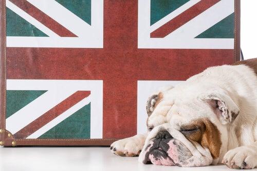 Le bulldog anglais : un chien au caractère très agréable