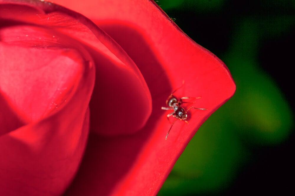 La rose et le crapaud