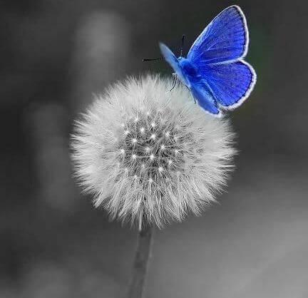 diente-de-leon-con-mariposa-azul