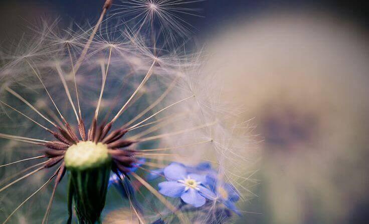 pissenlit avec fleur bleue