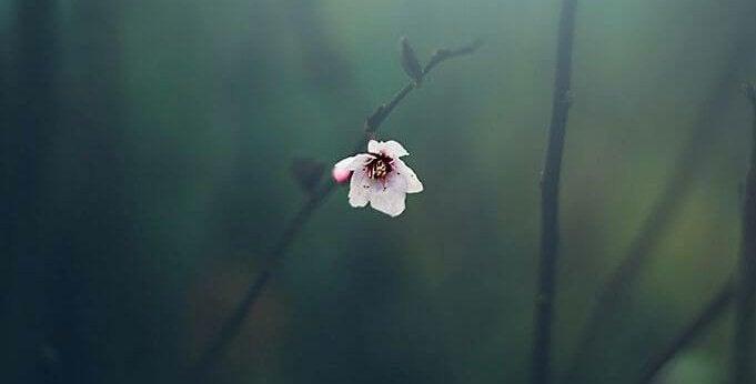 Fleur-d'amandier-1459802895990