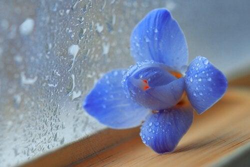Fleur-bleue-verre-pluie