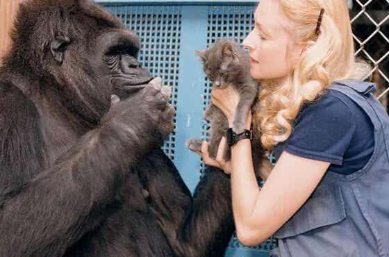 La tendre histoire de Koko, la guenon la plus intelligente du monde
