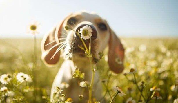 chien dans un champ de fleurs