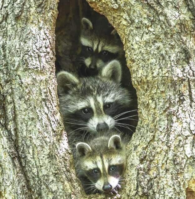 famille de ratons laveurs
