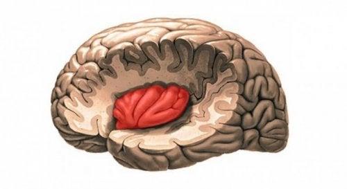 l'insula dans le cerveau