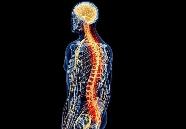 colonne vértébrale