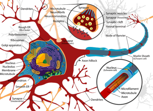 propriétés synapses