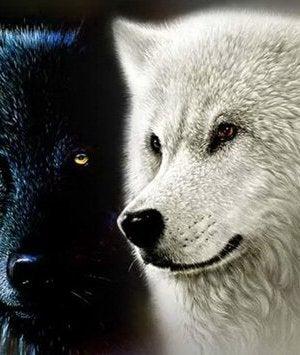loup blanc et loup noir
