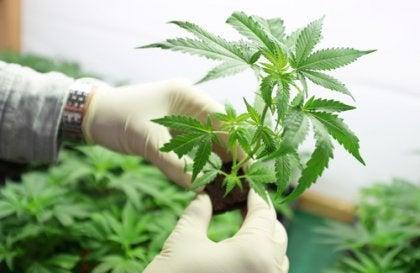 le CBD dans la marijuana