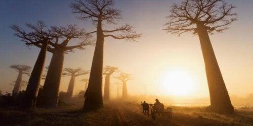 baobab dans le cœur