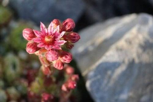 fleur dans les pierres