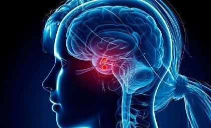 effet de l'acétylcholine pour l'hypophyse