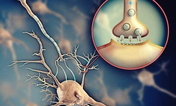 Acétylcholine : le neurotransmetteur qui facilite la communication entre les neurones