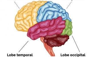 lobes cérébraux