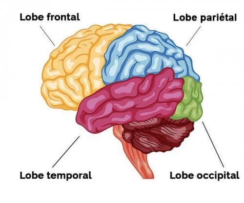 Lobes cérébraux: caractéristiques et fonctions