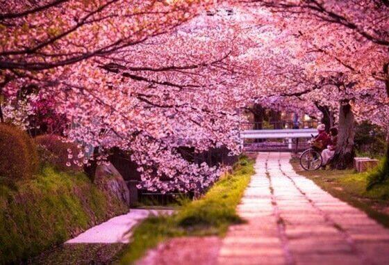 la légende de sakura