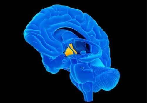 cerveau et hypothalamus