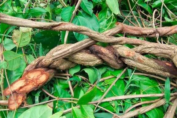 L'ayahuasca : mythes et vérités