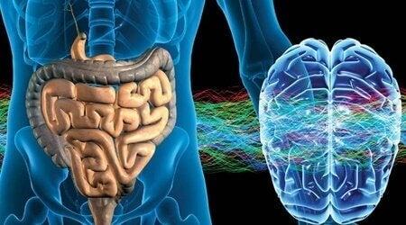 Il ne pense pas mais il ressent : le système nerveux entérique («second cerveau»)