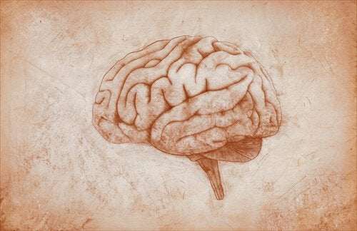 cerveau et homonculus de penfield