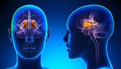 Épithalamus : caractéristiques et fonctions