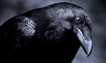 L'intelligence dans le monde animal : les corbeaux