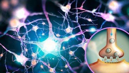 Le glutamate, un neurotransmetteur aux multiples fonctions