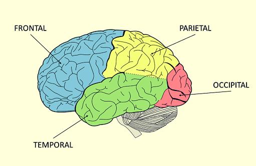 lobe temporal