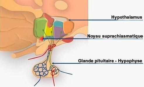 illustration du noyau suprachiasmatique