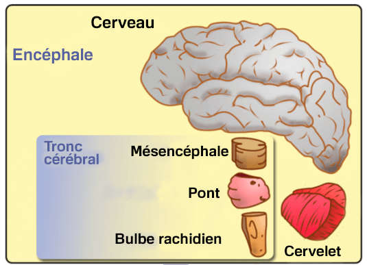 Mésencéphale : caractéristiques et fonctions