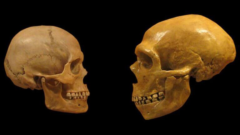 crâne des Néandertaliens