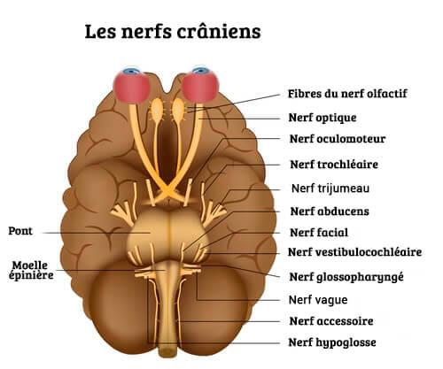 les différentes paires de nerfs crâniens