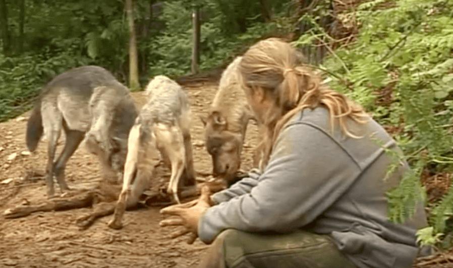 Shaun Ellis est entré dans une meute de loups