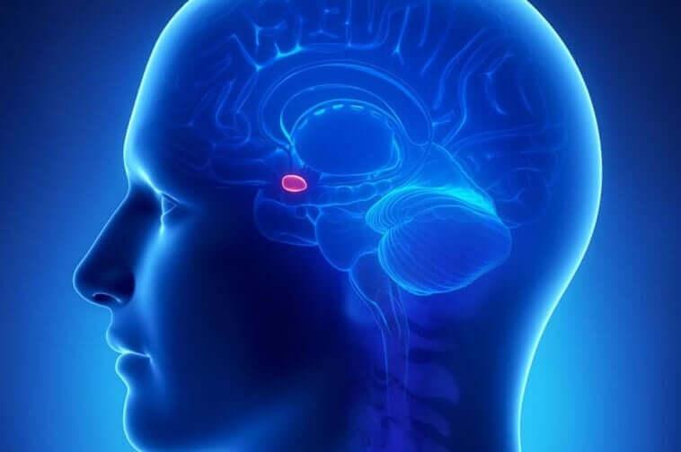 L'amygdale dans le cerveau