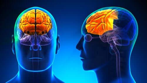 Le lobe frontal d'un homme