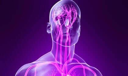 Une représentation du système nerveux somatique