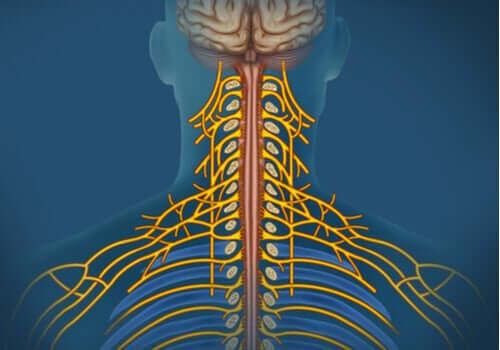 Le système nerveux somatique: caractéristiques et fonctions