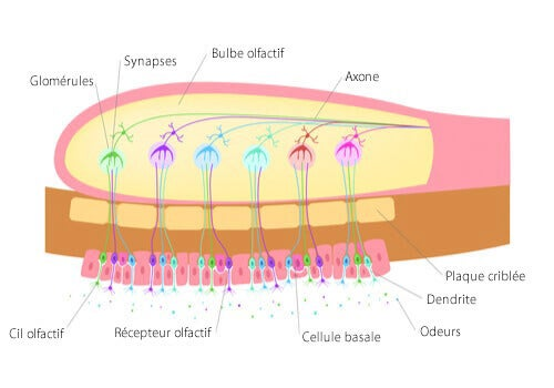 Un schéma du bulbe olfactif