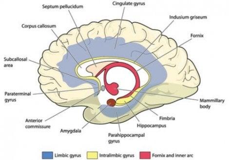 Le cerveau et son système limbique