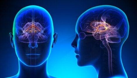 Le système limbique du cerveau et le gyrus cingulaire