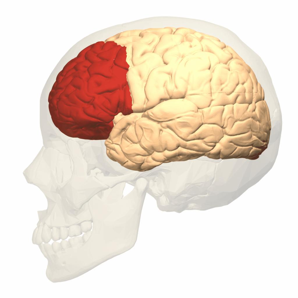 Le cortex préfrontal dorsolatéral dans le cerveau humain