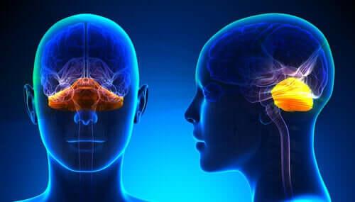 Le cervelet