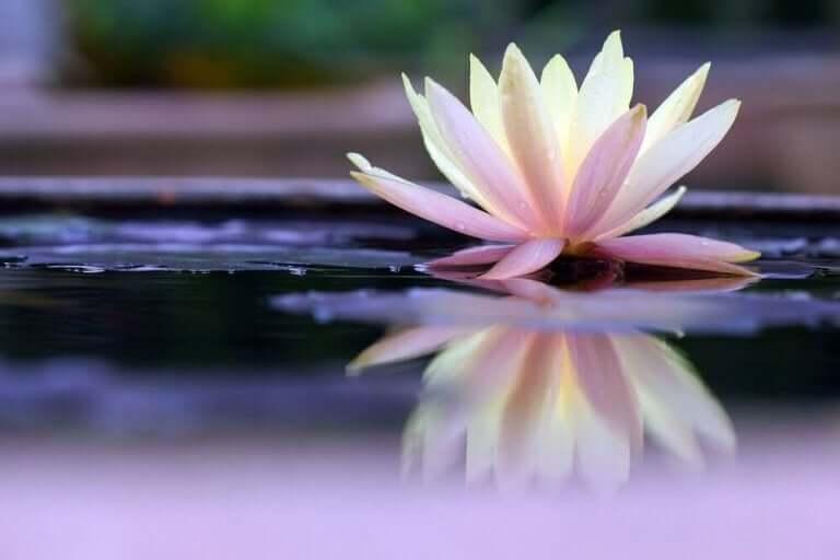 Une fleur de nénuphar représentant la légende zen