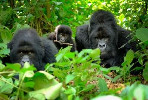 Les gorilles ont des rites funéraires