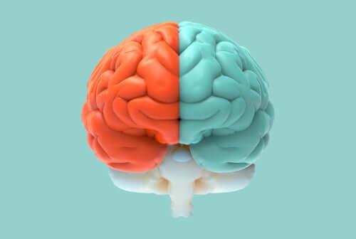 Un cerveau bicolore