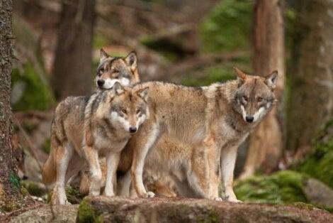 Le loup dans la nature