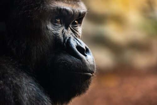 Trois rites funéraires impressionnants des gorilles