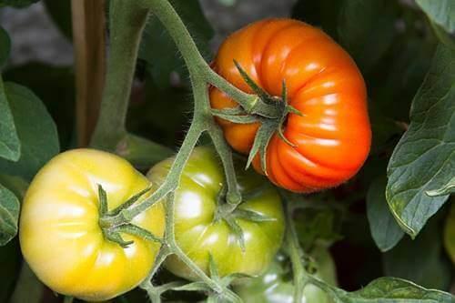Des tomates en train de mûrir dans un potager