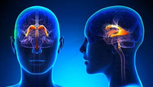 Les caractéristiques et fonctions du système ventriculaire cérébral